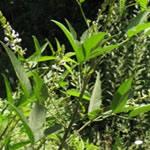 Culen, plantas medicinales