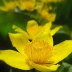 fotos Hierba centella, planta curativa