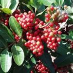 anacahuita, plantas medicinal
