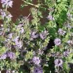 menta poleo plantas curativas